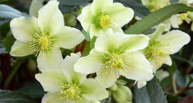 Top 5 des fleurs d'hiver dans votre jardin !